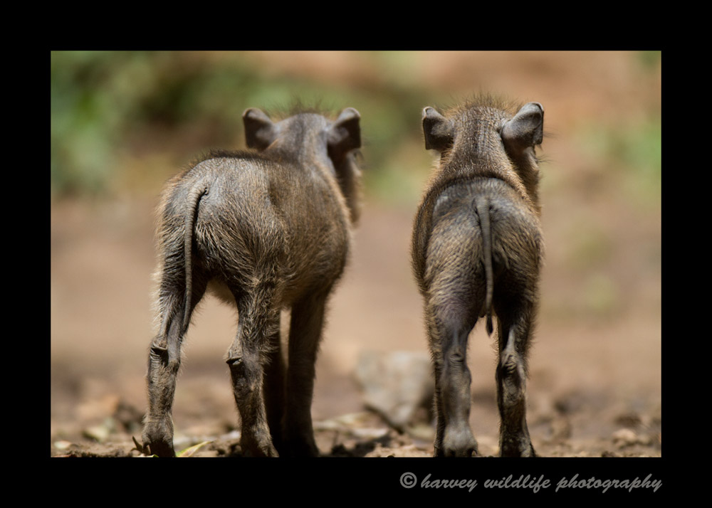A family of warthogs live within the Little Governor lodge grounds. These little characters are part of the charm of staying at Little Governors' camp.
