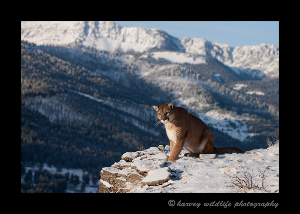 This mountain lion is a wildlife model living in Montana.