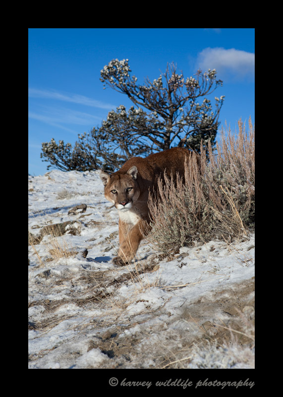 This mountain lion is a wildlife model.