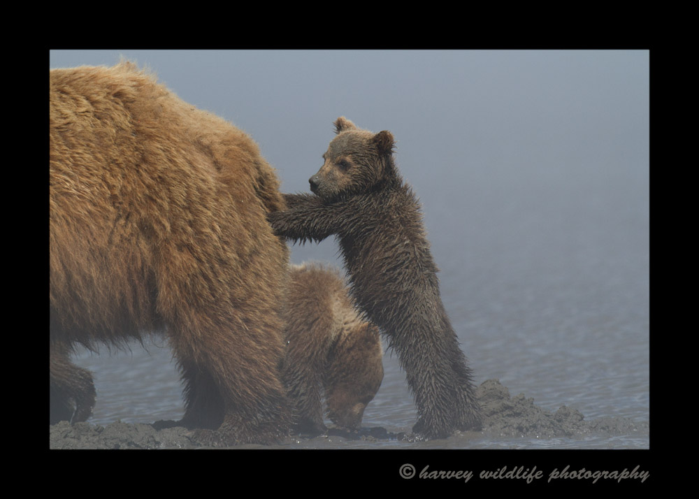 pushing_mom_brown_bear