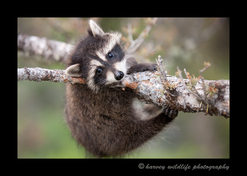 This is a wildlife model living in Montana. Racoons are very active little critters and are always moving, so they are difficult to photograph and quite entertaining to watch.