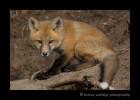 red_fox_2014