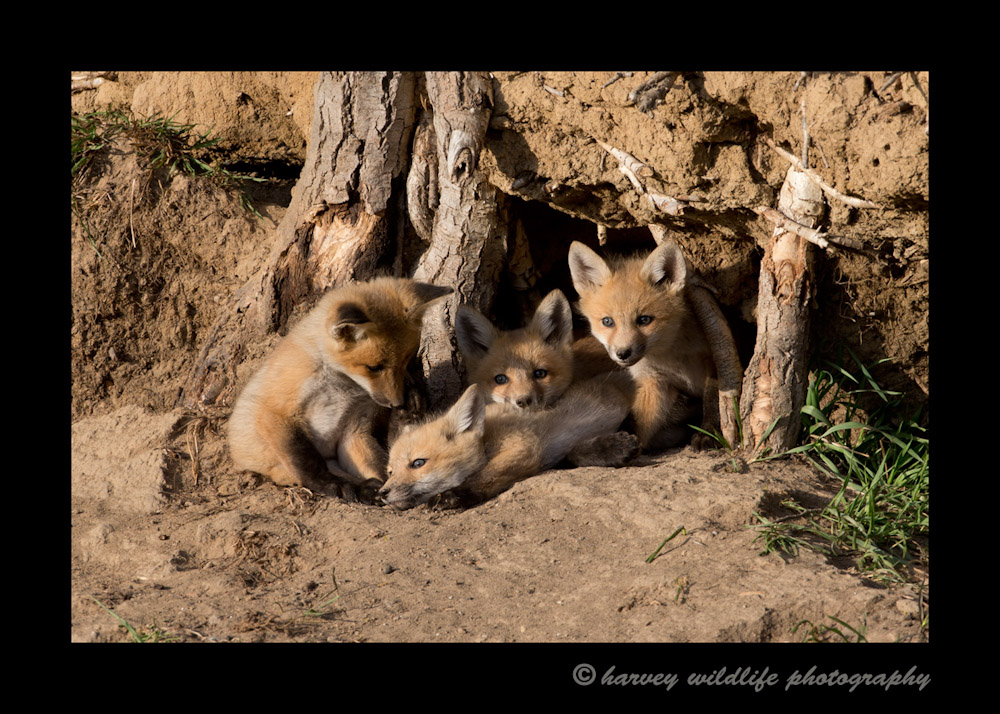 red_fox_kits