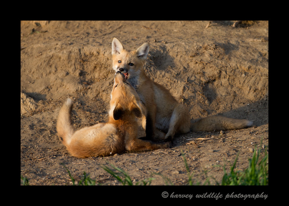 These fox kits enjoy a play session in the early evening.