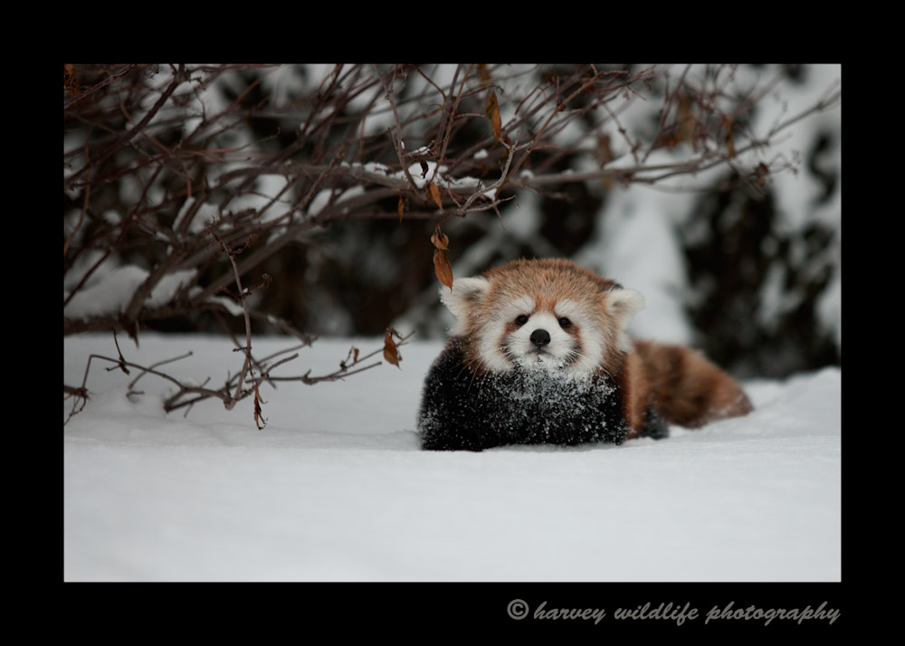This is Sha Lei in the deep snow. She just about go buried every time she tried running through the snow.