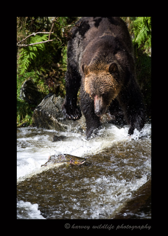 This grizzly bear watches a fish swimming upstream. There are so many fish during the salmon run that the bears get picky and only chase after the females. They are filled with eggs. The bears will often eat the eggs and maybe the brains and often throw the rest away.