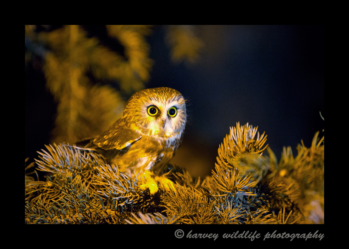 saw_wet_owl_pine_tree