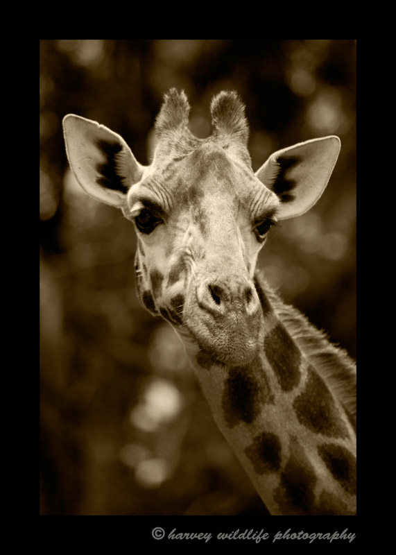 Sepia version of a giraffe at the Giraffe Manor in Nairobi, Kenya.