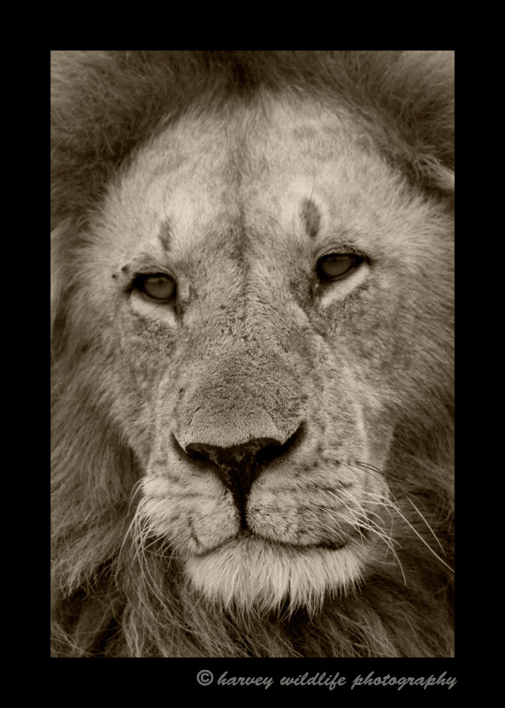 This male was the king of the Marsh Pride in the Masai Mara, Kenya.