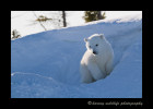 shy_polar_bear