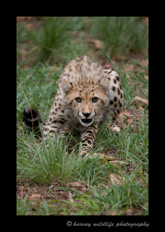 six_month_old_cheetah