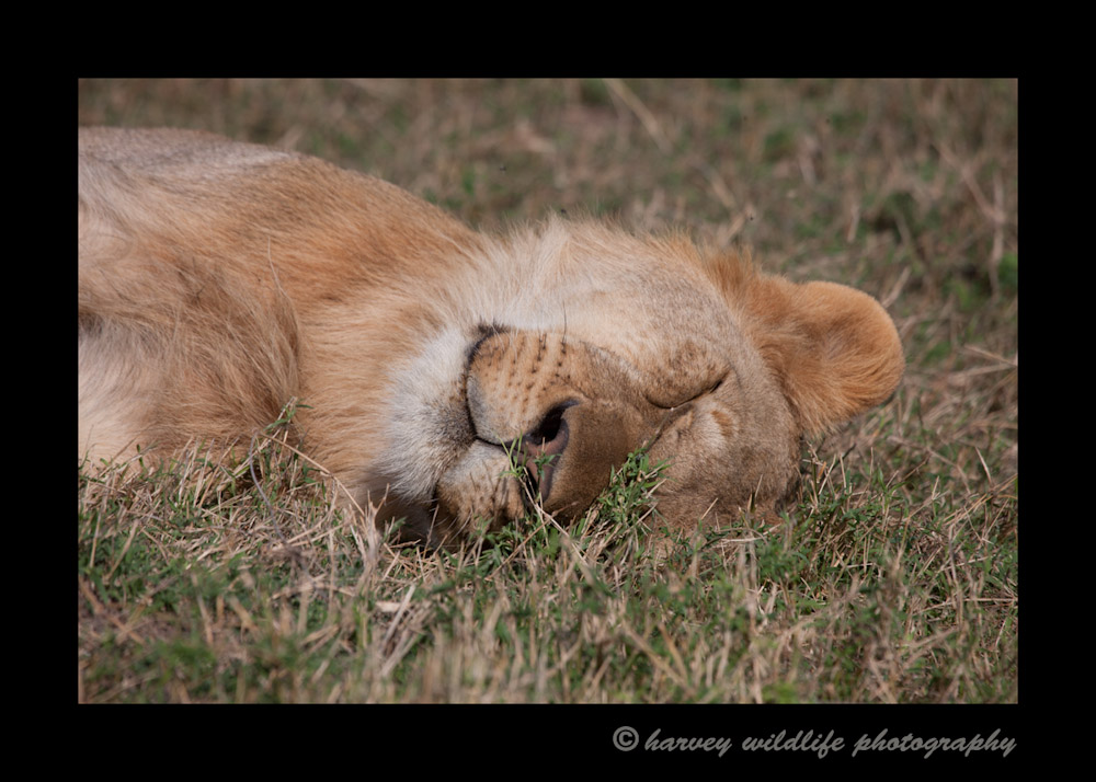 This lion is doing what lions do best during the day...Sleeping. Lions can sleep up to about 20 hours per day.