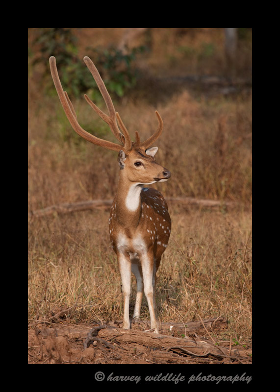 small-spotted-buck