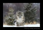 snow_leopard_head_on