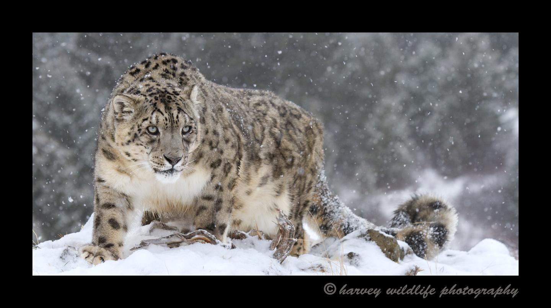 snow_leopard_pano