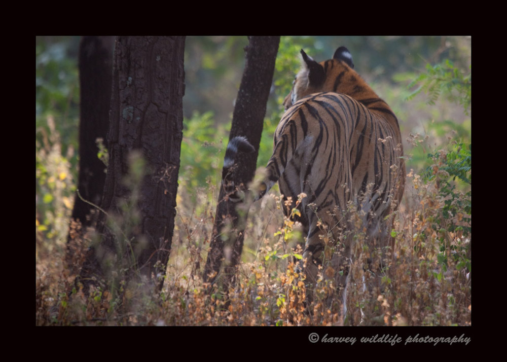 tiger-back-shot