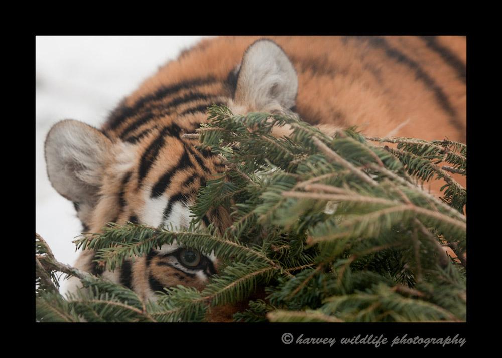 tiger-peek-a-boo