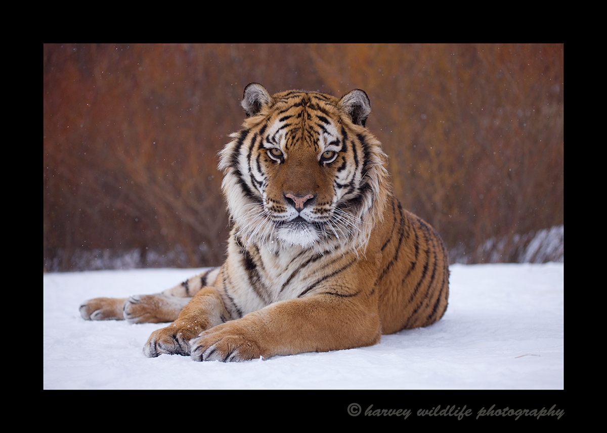 Picture of an amur tiger posing in the snow.