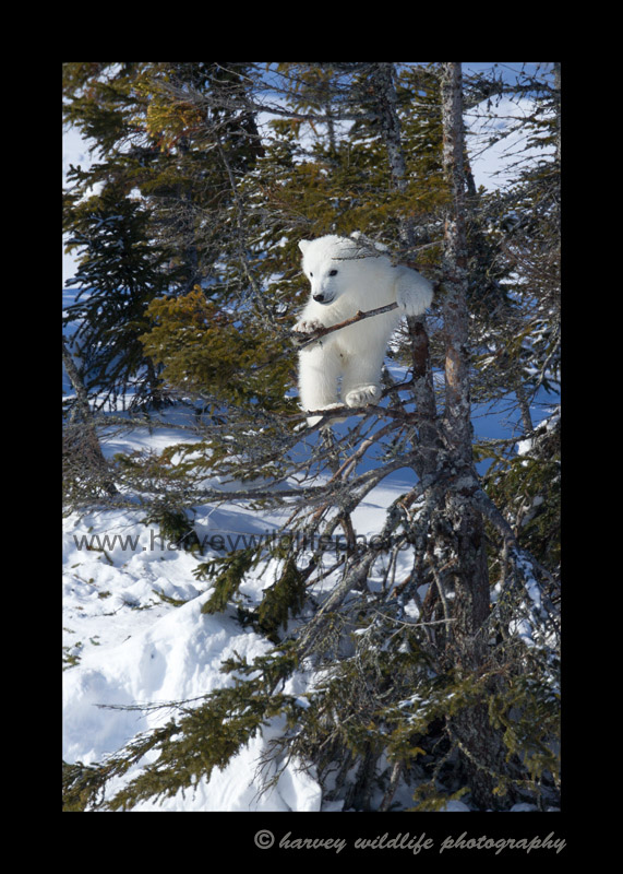 tree_climbing_polar_bear_cub