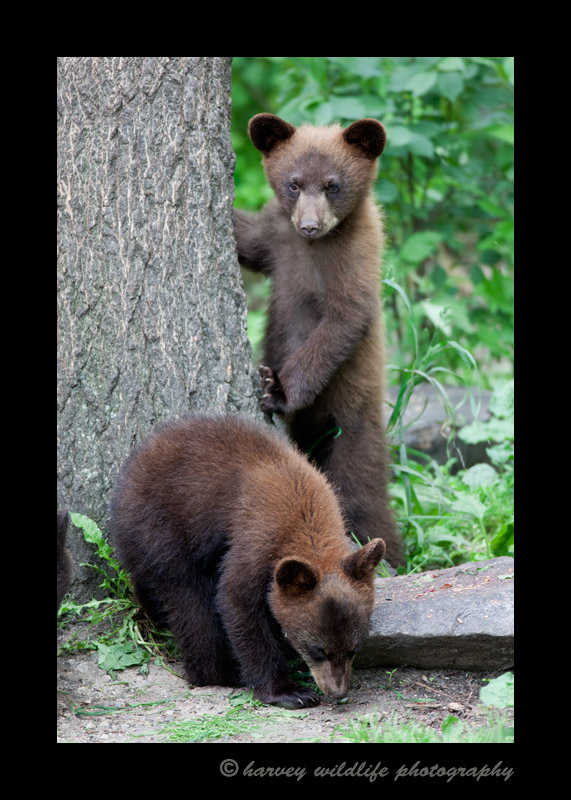 twin-black-bears