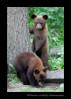 twin-black-bears