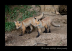 two_fox_kits