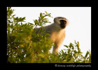 This vervet monkey is high up in a tree overlooking a safari lodge in South Africa. The guides told us that the monkeys are so smart that they will get attention by fighting. The tourists run out to see what all the commotion is. While the tourists are photographing them, other monkeys run in behind them to steal fruit from the buffet table.