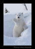 Picture of a polar bear cub waving