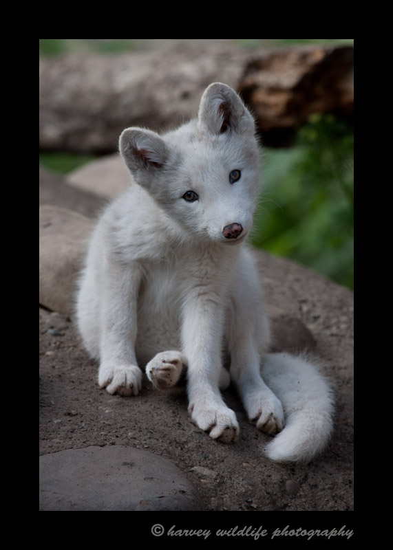 This arctic fox kit was a part of a litter of 14 kits. The kits came in all shades from white to black and several shades of brown and grey.