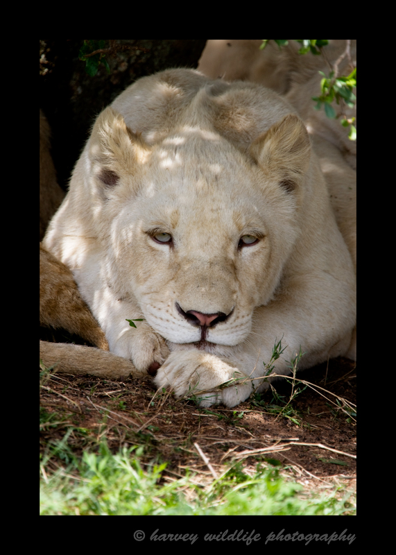 I have yet to see a white lion in the wild. This one was living in a wildlife sanctuary in South Africa. White lions are white due to a recessive gene, just like black leopards, king cheetahs, spirit bears and white tigers.
