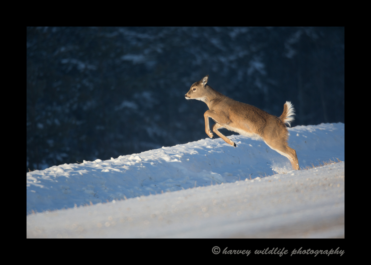 yearling_deer_jump