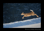 yearling_deer_jump_2