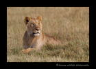 young_male_lion_2010