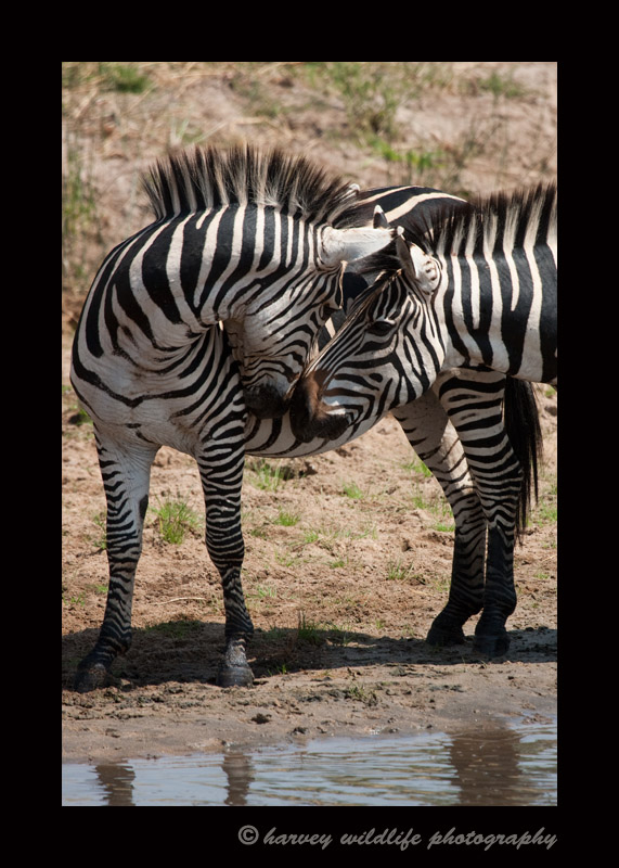 Zebras enjoying a brief greeting in the Masai Mara, Kenya