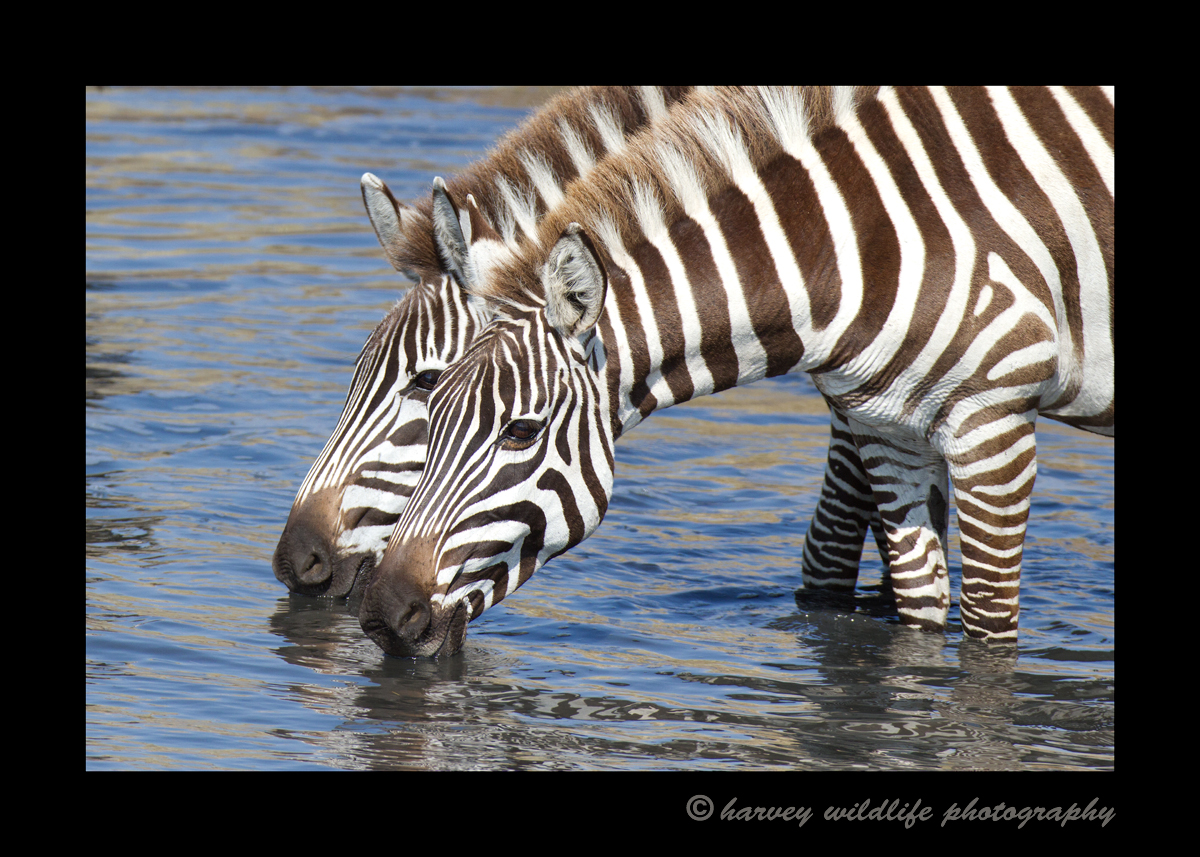 zebras_drinking