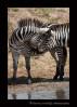 Zebras enjoying a brief greeting in the Masai Mara, Kenya