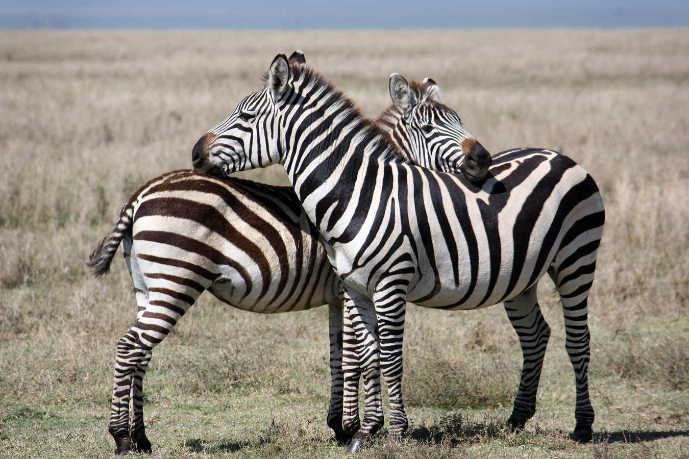 Stripes, Serengeti