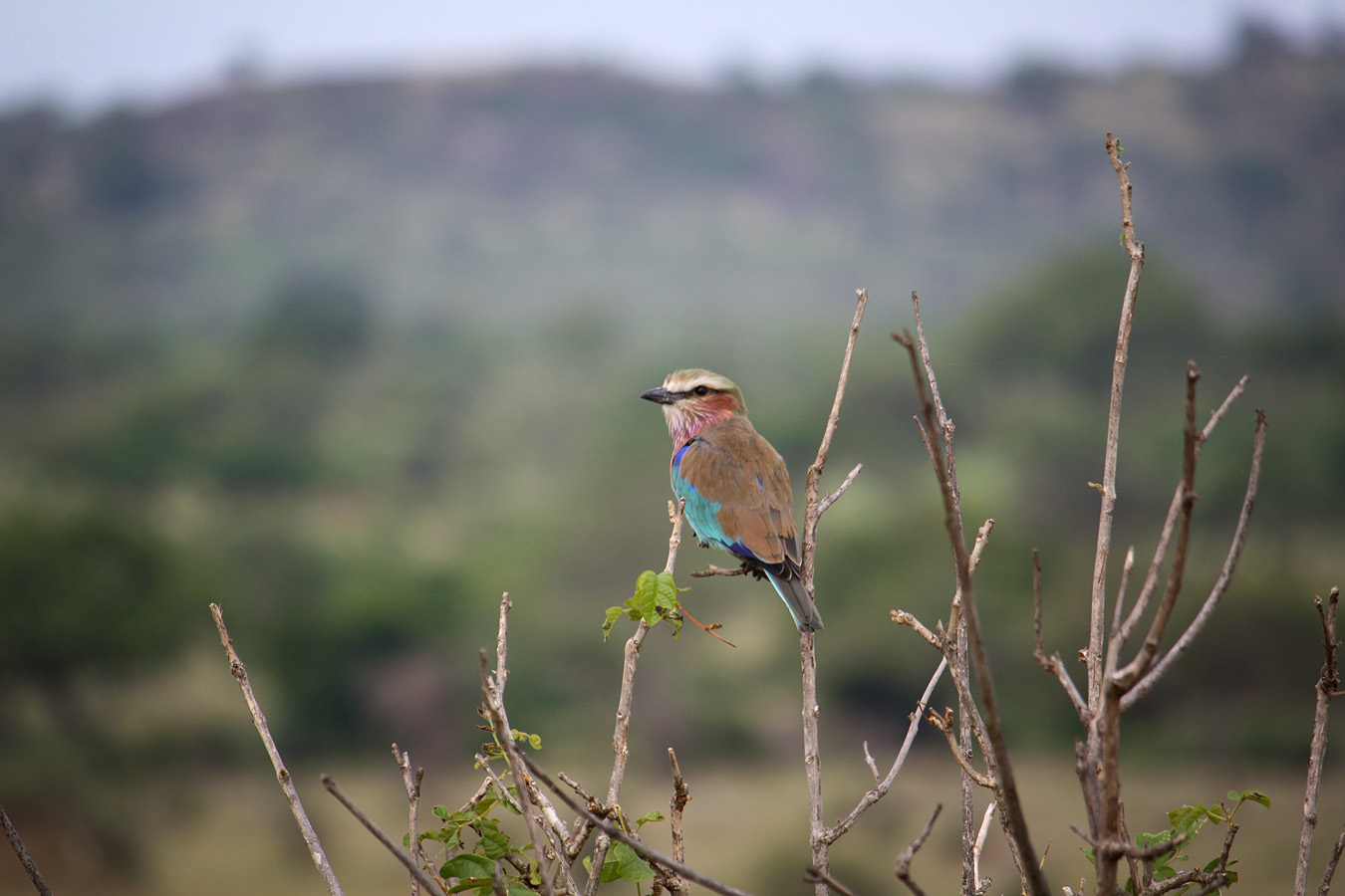 Lilac breasted roller, Serengeti