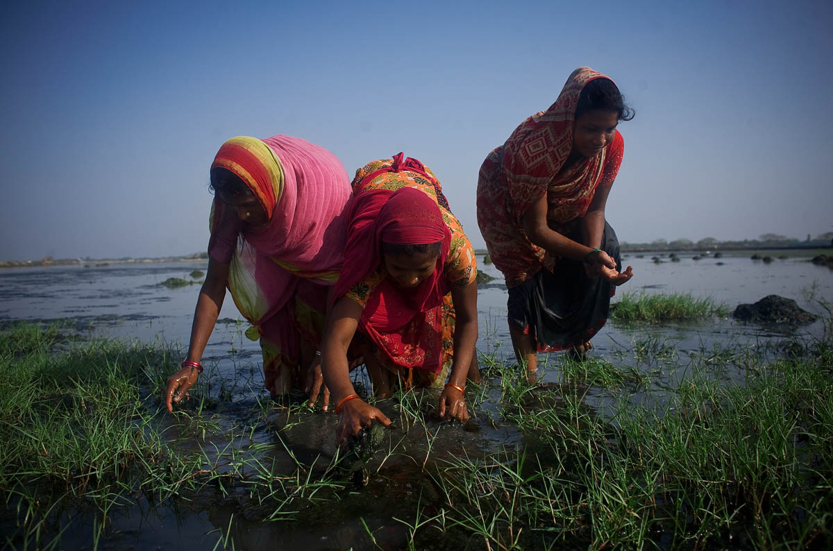 Women collect shrimp in Harinagar, earning around 80 taka (around $1.10) a day. Many people opt to farm shrimp instead of working in the jungle, where they could earn more money. The risks they would encounter in the jungle are best avoided.