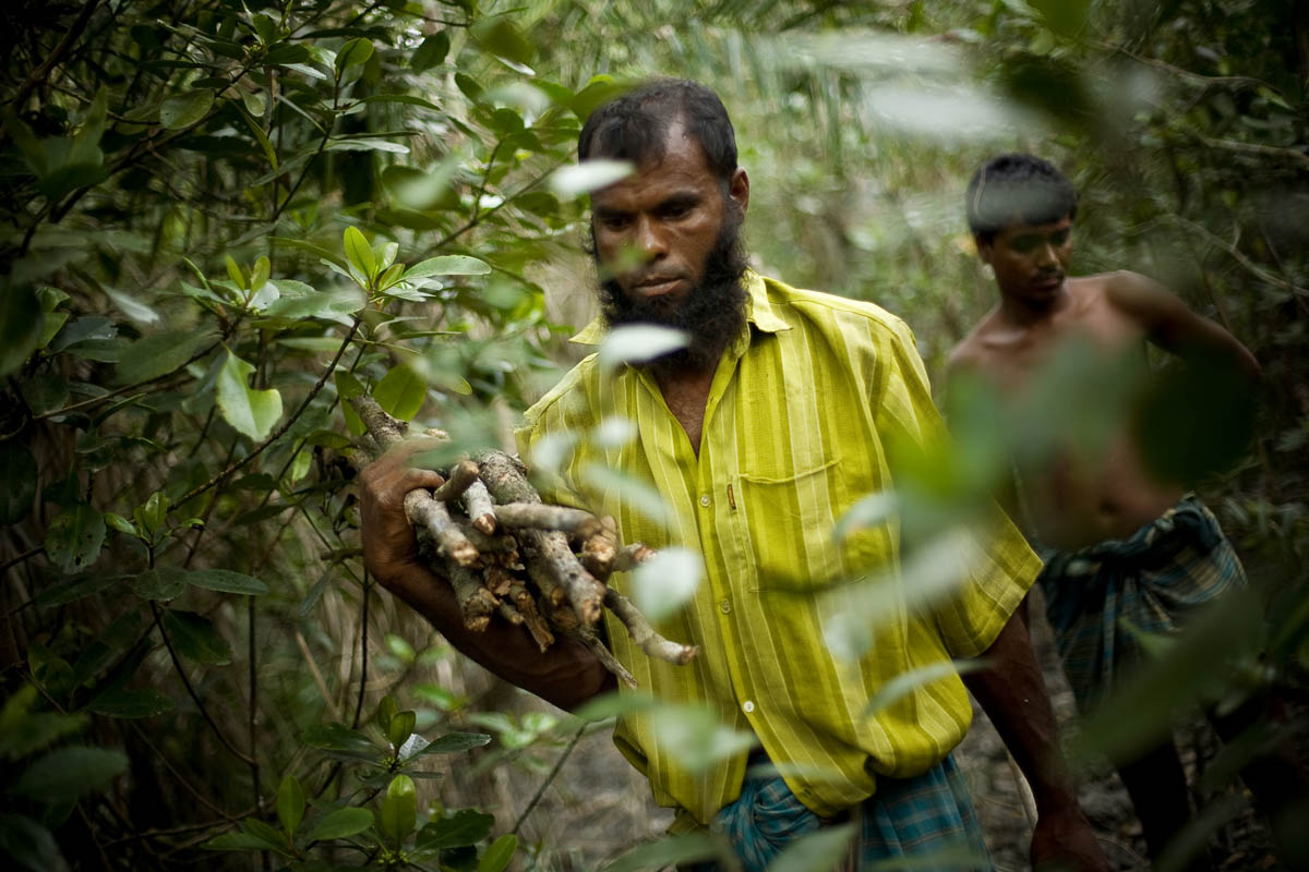 Men collect firewood in the dense mangrove forest in the Sundarbans forest.