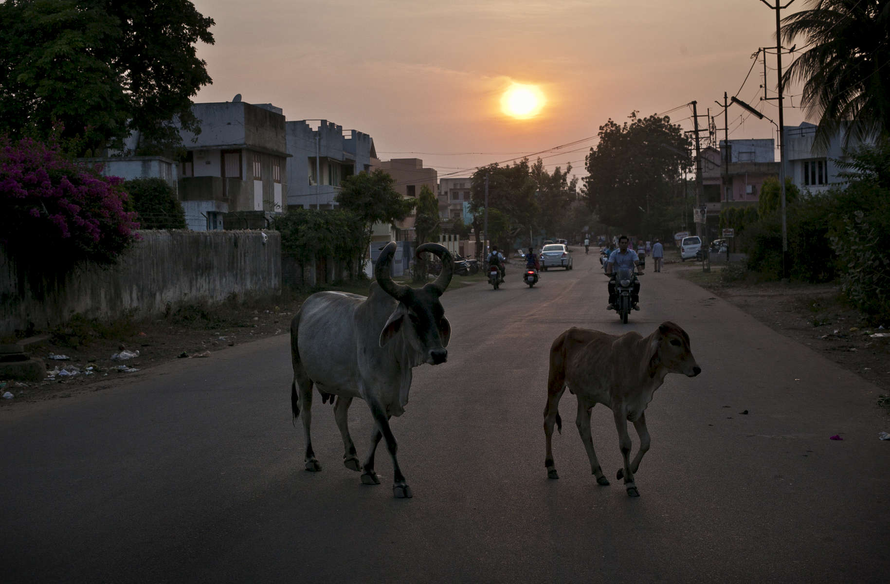 Cows walk down a street in Anand, India.