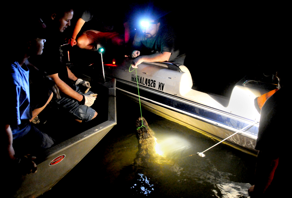 A group of alligator hunters look at their catch after a night of hunting on Lake Eufuala August 22, 2010.