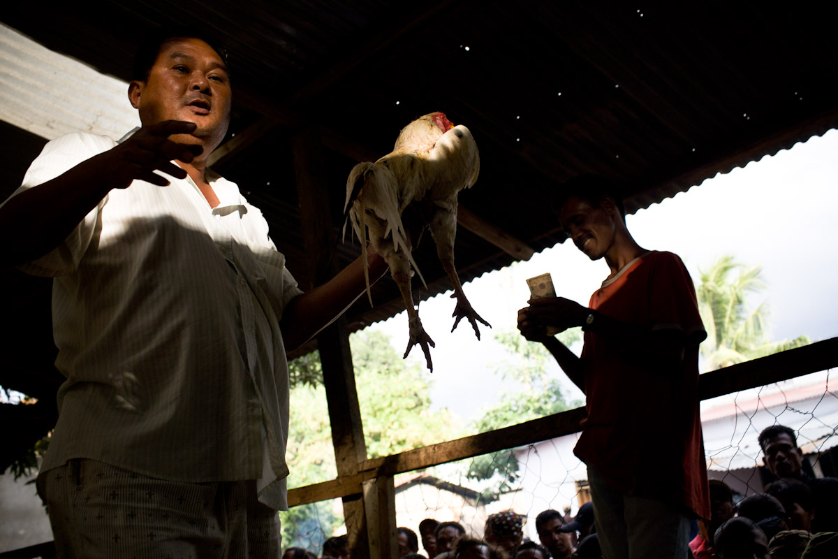 In Timor Leste cock fighting or futu manu as its more commonly known is the only legal form of gambling.