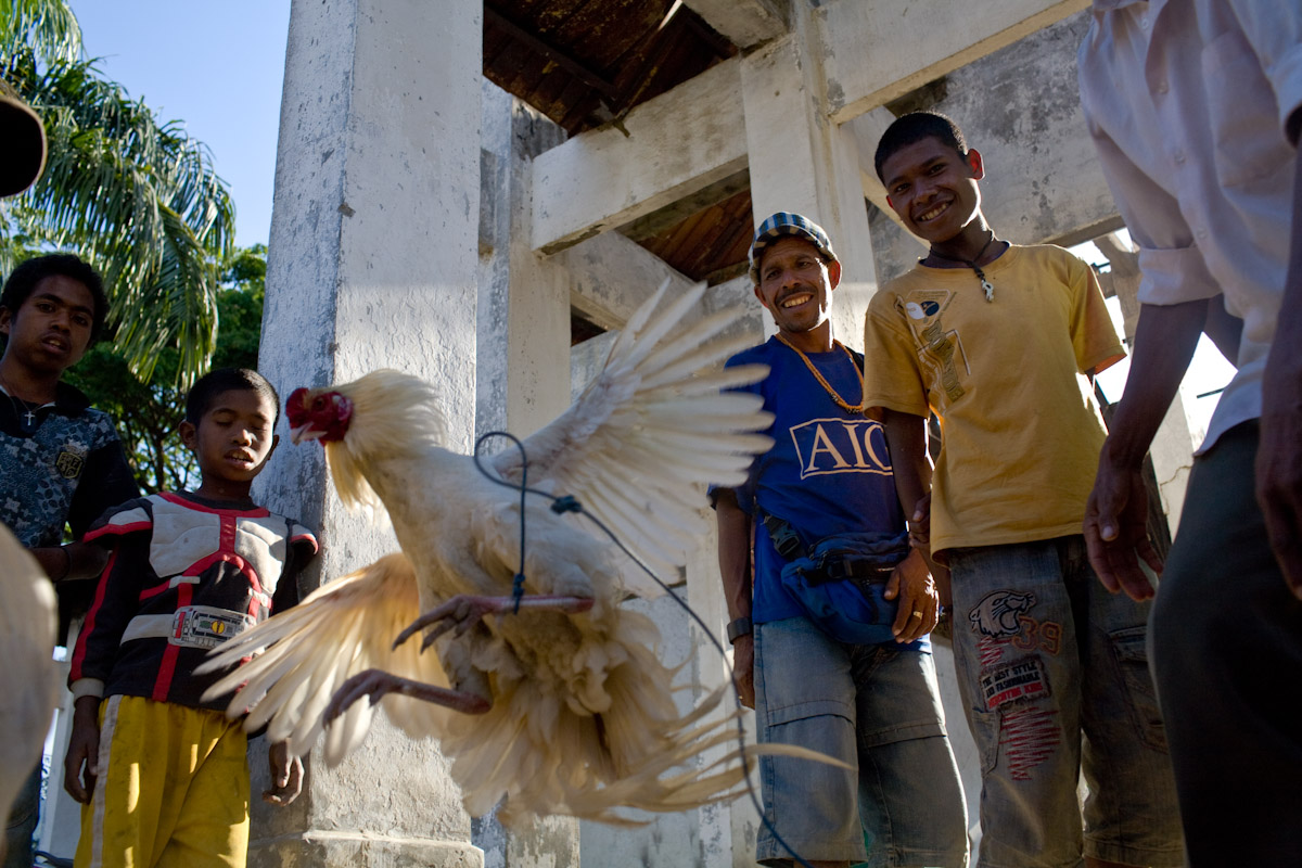 Men watch roosters fight in Gleno, the largest town in the coffee growing district of Emera in Timor Leste.