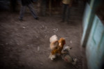 A rooster lands a fatal blow in Baucau, Timor Leste.