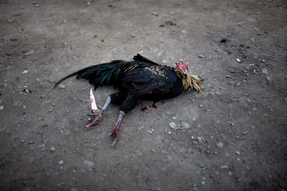 A rooster dies quickly after a swift blow early in a fight.