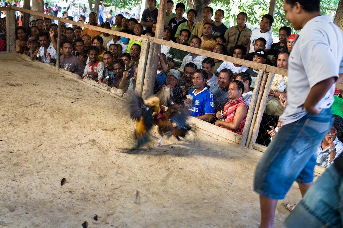 The largest futu manu ring in Timor Leste is found in Santa  Cruz, a suburb of the capital Dili.