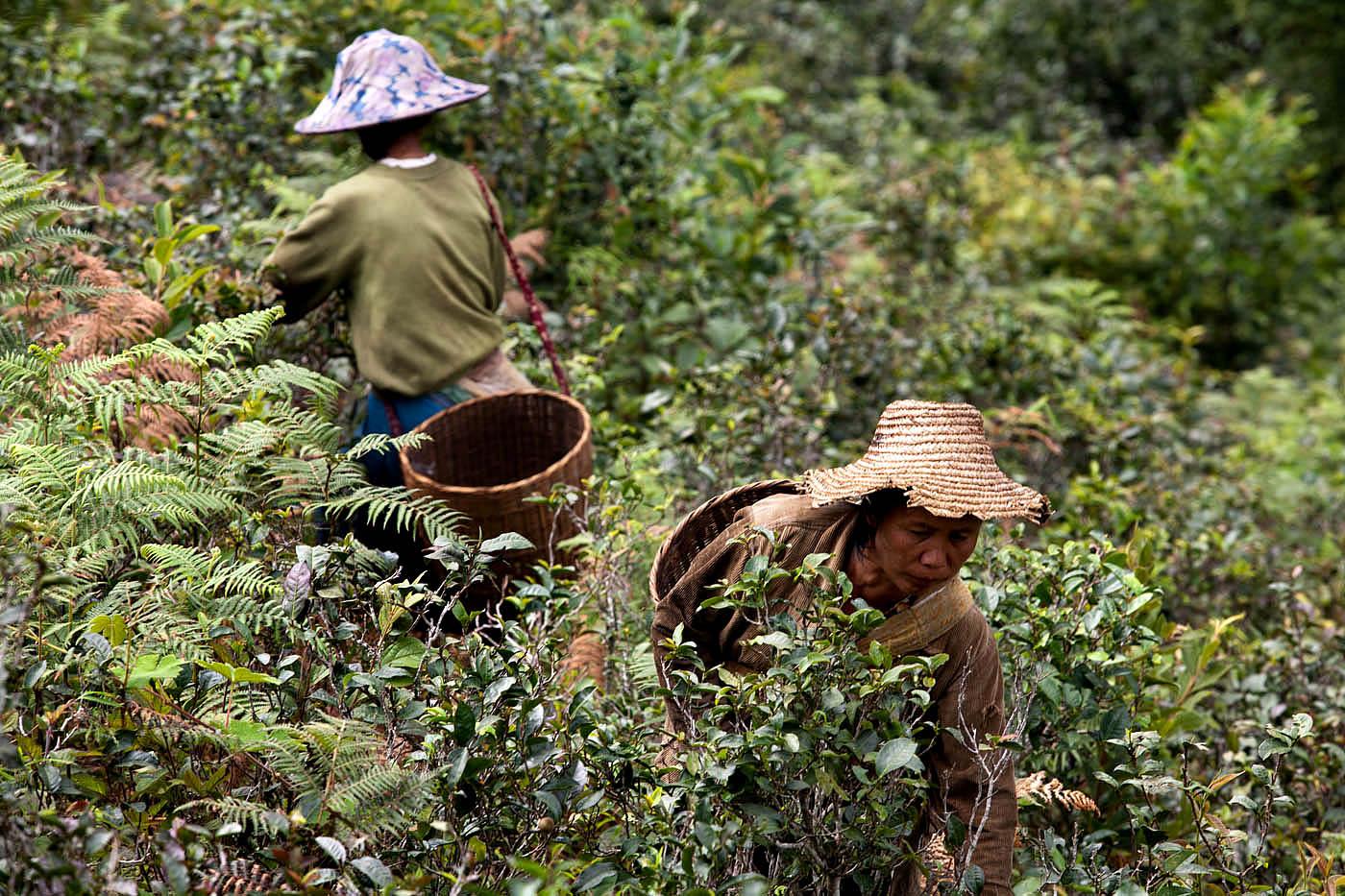 Palaung women harvest tea leaves outside Namshan.