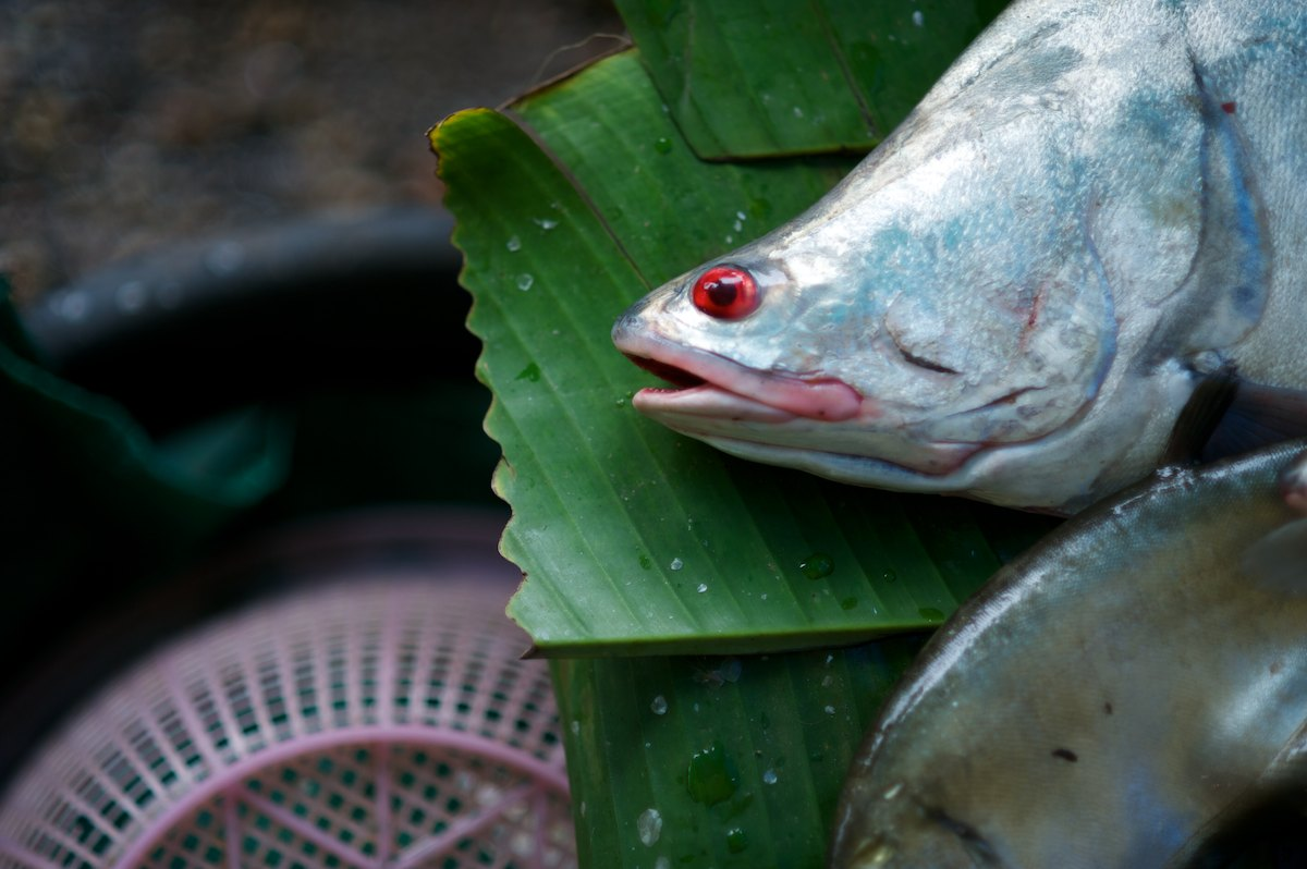 A large Featherback fish from the Mekong River is sold in the Vientiane morning market.