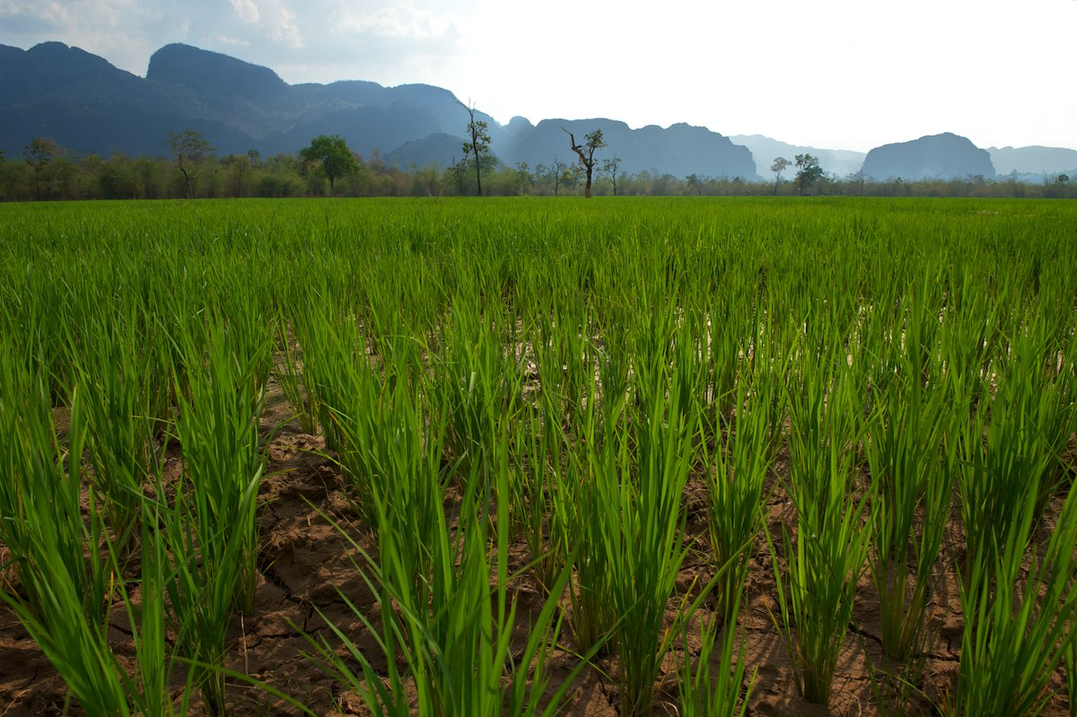 A detail of a rice crop near the village of Nongxong.